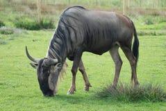 wildebeest Arkivfoton