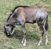 Wildebeest 2 Fotografie Stock Libere da Diritti