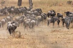 Wildebeest Stock Image