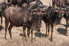 Wildebeest Stock Photography