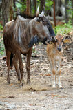 Wildebeest Images stock