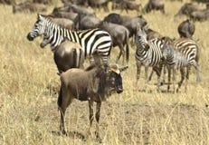 Wildebeest Royalty Free Stock Image