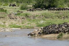Wildebeest Stockfoto