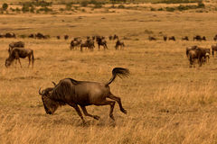Wildebeest Stock Photo