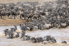 Wildebeest Royalty Free Stock Photos