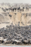 Wildebeest Obrazy Royalty Free