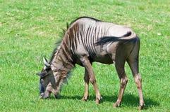 Wildebeest Imagen de archivo