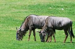 Wildebeest Royalty Free Stock Images