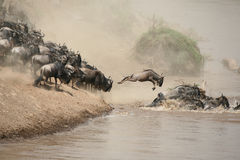 Wildebeest Fotos de Stock