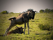 Wildebeest στοκ εικόνα