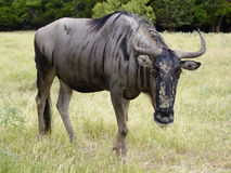 Wildebeest Stockbild