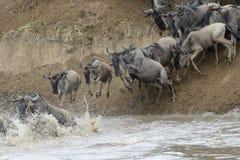 Wildebeest Zdjęcie Royalty Free