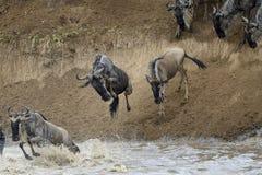 Wildebeest fotografia royalty free