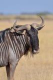 Wildebeest Στοκ φωτογραφίες με δικαίωμα ελεύθερης χρήσης