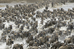 Wildebeest Obraz Stock