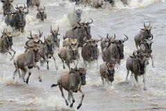 Wildebeest Royalty-vrije Stock Foto