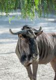 Wildebeest Royalty Free Stock Photography