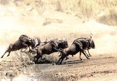 wildebeest Fotografía de archivo libre de regalías