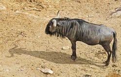 wildebeest Royalty-vrije Stock Afbeelding