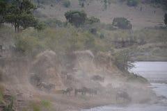 wildebeest Immagine Stock