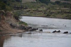 wildebeest Fotografie Stock