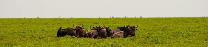 wildebeest Immagini Stock