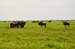 wildebeest Immagini Stock Libere da Diritti