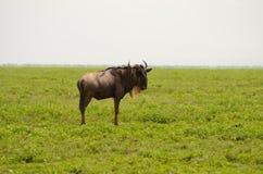 wildebeest Immagine Stock Libera da Diritti