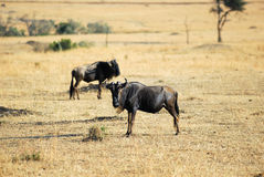 wildebeest Стоковые Фото