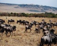 wildebeest lizenzfreies stockfoto