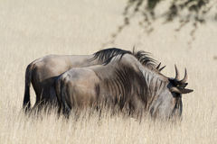 wildebeest Royaltyfri Foto