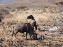 wildebeest Photo libre de droits