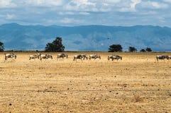 wildebeest Zdjęcia Stock