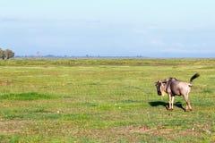 wildebeest Zdjęcia Royalty Free