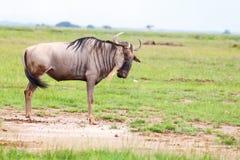 wildebeest Fotografia Stock
