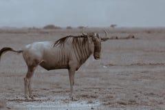 wildebeest Obraz Royalty Free