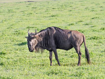 wildebeest Immagine Stock