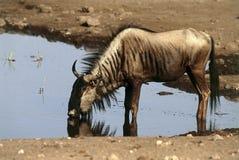 Wildebeest Fotografie Stock Libere da Diritti
