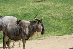 wildebeest Obrazy Royalty Free