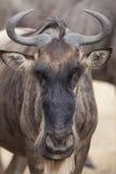 Wildebeest 7804 Stock Photo