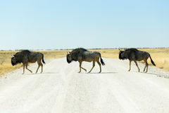 wildebeest Стоковое Изображение