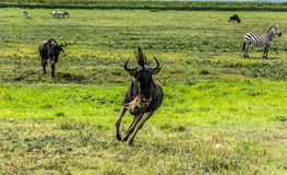 wildebeest Imagenes de archivo