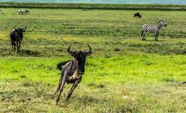 wildebeest Fotos de archivo