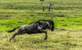 wildebeest Fotos de archivo libres de regalías