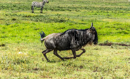 Free Wildebeest Royalty Free Stock Photo - 88265245