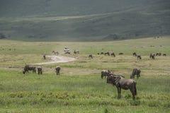 wildebeest Foto de archivo