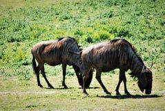 wildebeest foto de stock