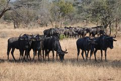 Wildebeest, Africa, Safari, Animal Stock Photo
