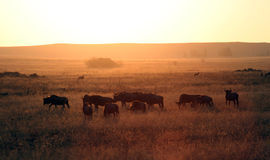 Wildebeest africain Photo stock