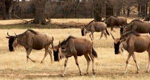 Wildebeest africain Image libre de droits